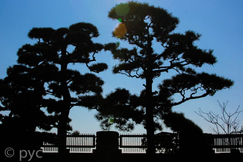 Pine Tree Shadow